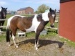 Young Stock  horse - 2 yrs 11 mths 13.2 hh Skewbald - Lancashire