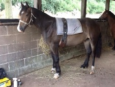 3yr old Welsh Section D Gelding