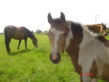 Stunning Dun and white tobiano filly