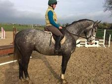 Hunters horse - 5 yrs 17. 0 hh Steel Grey