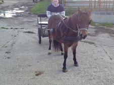 10hh driving pony