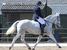 7 Year Old Irish Sports Horse 16. 1hh