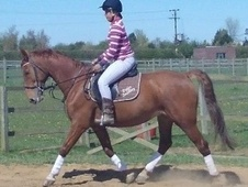 All Rounder horse - 12 yrs 15.2 hh Chestnut - Bedfordshire