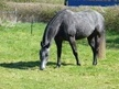 Quarter Horses for Sale horse - 5 yrs 15.3 hh Steel Grey - Somerset
