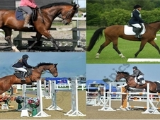 showjumper/ hunter/ allrounder talented competition mare
