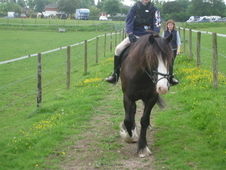 Handsome 14. 1hh Dark Brown Family Pony