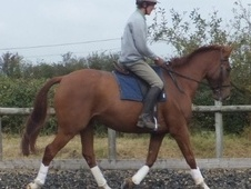 All Rounder horse - 5 yrs 16.1 hh Chestnut - Wiltshire