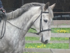 All Rounder horse - 6 yrs 3 mths 15.2 hh Dapple Grey - West Midlands