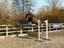 All Rounder horse - 5 yrs 16.0 hh Dark Bay - Surrey