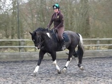 All Rounder horse - 5 yrs 11 mths 16.0 hh Coloured - Worcestershire