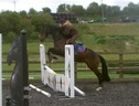 Potential young sports horses horse - 4 yrs 3 mths 15.2 hh Dark Bay - Surrey