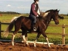 ****ideal Competitive Teenagers Eventing Horse****