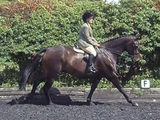 Allrounder/Excellent Working Hunter