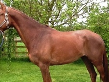 Potential young sports horses horse - 5 yrs 16.2 hh Chestnut - Essex