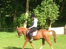 All Rounder horse - 4 yrs 13.2 hh Chestnut - Cheshire