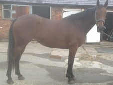 Free To Good Home 15. 2hh 4 Year Old Bay Mare