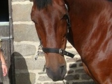 All Rounder horse - 14 yrs 5 mths 15.2 hh Bay - North Yorkshire