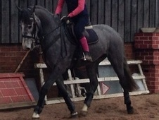 All Rounder horse - 4 yrs 2 mths 16.0 hh Steel Grey - Nottinghams...