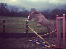 128 jumping/show pony