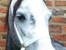 Mountain & Moorland horse - 5 yrs 12.0 hh Iron Grey - West Yorkshire