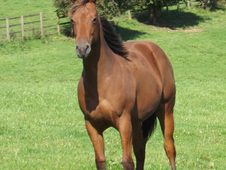 Outstanding Quarter Horse Bay Yearling Filly
