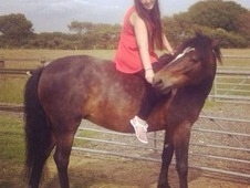 7year Old Dark Bay New Forest Mare