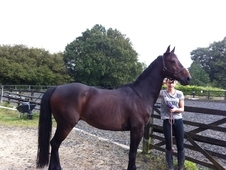 Sharer wanted for lovely TB cross gelding