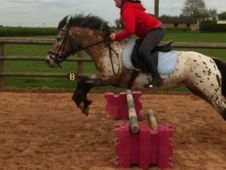 All Rounder horse - 12 yrs 13.2 hh Appaloosa - Nottinghamshire