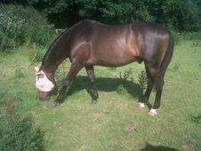Easiest, Kindest Companion Gelding, Free To Good Home