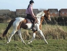 All Rounder horse - 5 yrs 15.2 hh Coloured - Lancashire
