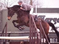 Performance Horses horse - 5 yrs 16.1 hh Dark Bay - Nottinghamshire