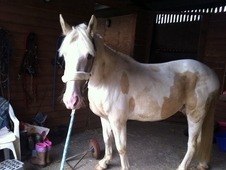 For Sale, 15hh2, Gelding, Lemon And White Cobx, 3 Year Old.