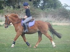 All Rounder horse - 14 yrs 14.0 hh Chestnut - Norfolk