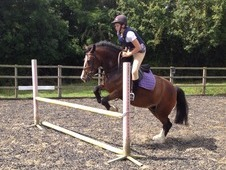 14hh Welsh C All Round Pony