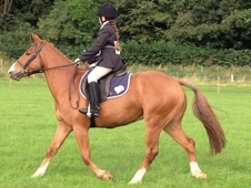 Showing horse - 5 yrs 6 mths 14.0 hh Chestnut - Selkirkshire
