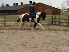 Lovely project rising 5yo gelding