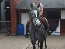 Showing horse - 6 yrs 14.2 hh Grey - Nottinghamshire