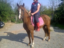 All Rounder horse - 4 yrs 2 mths 14.0 hh Chestnut - Essex