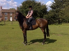 All Rounder horse - 11 yrs 1 mth 15.3 hh Bay - Humberside