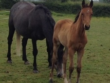 Filly Foal By Advanced Event Stallion 'wish Upon A Star'