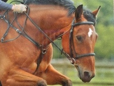 All Rounder horse - 10 yrs 16.0 hh Bay - West Yorkshire