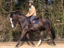 All Rounder horse - 4 yrs 0. 0 hh - Kent
