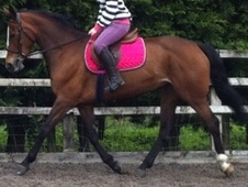 All Rounder horse - 5 yrs 9 mths 15.3 hh Bay - Lancashire