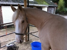All Rounder horse - 2 yrs 10 mths 16.0 hh Palomino - West Sussex