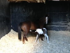13hh Unregistered sec B with beautifully marked skewbald foal