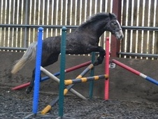 All Rounder horse - 4 yrs 10 mths 15.3 hh Iron Grey - Lincolnshire