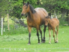 Broodmares horse - 7 yrs 1 mth 14.2 hh Bay - North Yorkshire