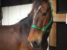 Handsome 14. 1hh, Welsh Section D, 7 year old, Bay gelding