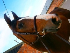 All Rounder horse - 10 yrs 14.2 hh Dark Bay - Wiltshire