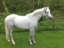 Showing horse - 5 yrs 2 mths 12.2 hh Dapple Grey - Worcestershire